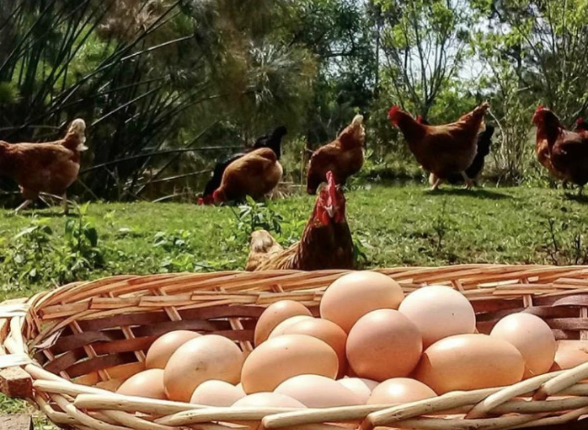 gallinas huevos granja